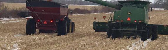 Crop Spotlight – 300 Day Variety Corn